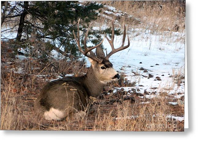 Big Buck At Rest Greeting Card by Sara  Mayer