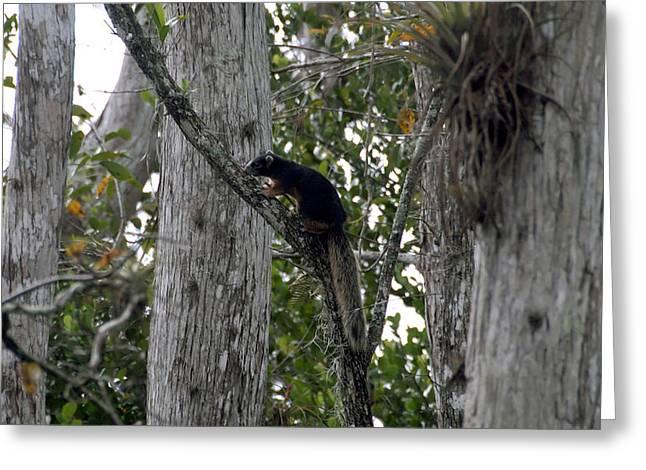 Sciurus Niger Greeting Cards - Big Cypress Fox Squirrel Greeting Card by David Lee Thompson