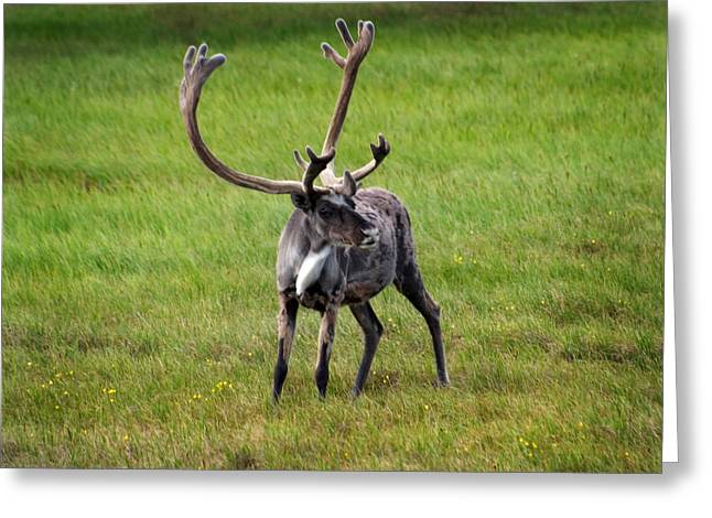 Caribou Greeting Cards - Big Horn Greeting Card by Anthony Jones