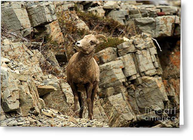 Sheep On Rocks Greeting Cards - Big Horn On The Rocks Greeting Card by Adam Jewell