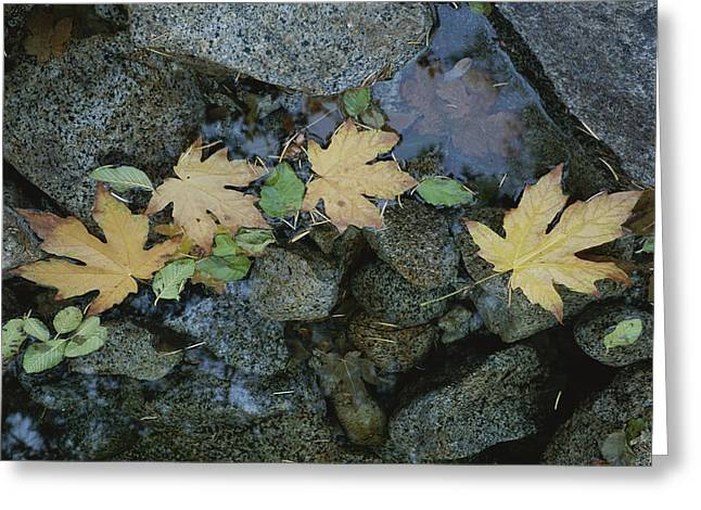 Plant Color Changes Greeting Cards - Big Leaf Maple Leaves Float Greeting Card by Marc Moritsch