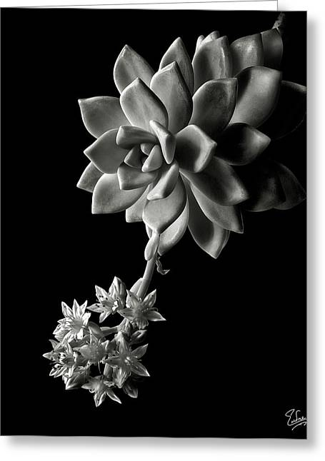 Flower Photos Greeting Cards - Big Sedum in Black and White Greeting Card by Endre Balogh