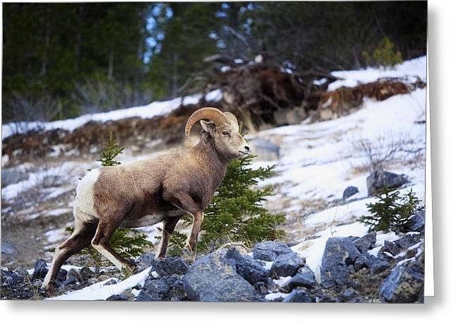 Rocky Mountain Sheep Greeting Cards - Bighorn Sheep Climbing Snowy Rocky Hill Greeting Card by Richard Wear
