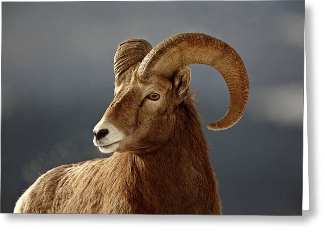 Grazing Snow Greeting Cards - Bighorn Sheep in winter Greeting Card by Mark Duffy