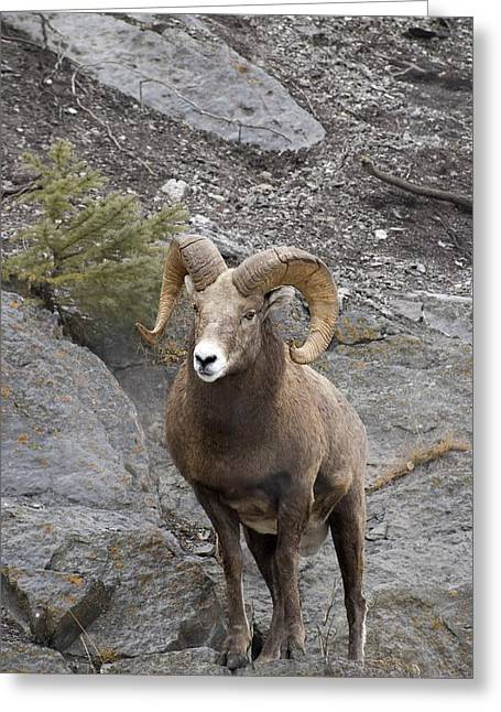 Canadian Prairies Greeting Cards - Bighorn Sheep Ovis Canadensis Greeting Card by Philippe Widling