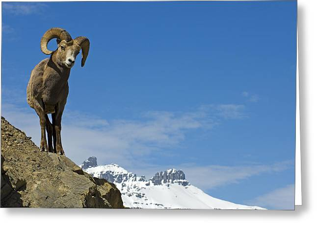 Ledge Photographs Greeting Cards - Bighorn Sheep Ram On A Ledge, Jasper Greeting Card by Mike Grandmailson