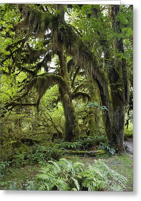 Pinaceae Greeting Cards - Bigleaf Maple Acer Macrophyllum Greeting Card by Konrad Wothe