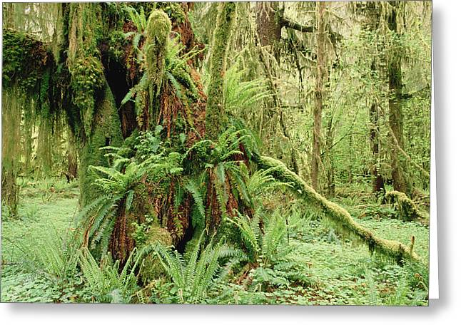 Bigleaf Maple Acer Macrophyllum Trees Greeting Card by Gerry Ellis