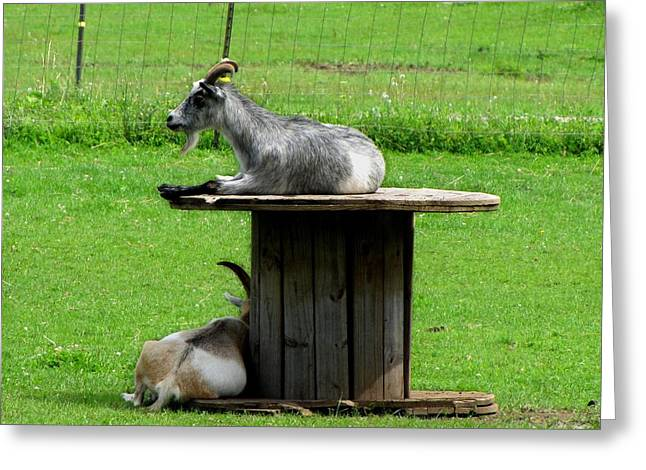 Billy Goats Relaxing Greeting Card by Ms Judi