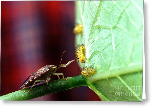 Insect Control Greeting Cards - Biocontrol Of Bean Beetle Greeting Card by Science Source