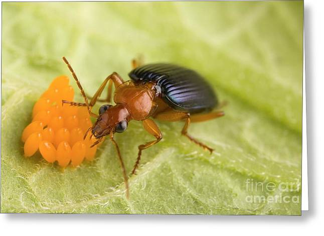 Insect Control Greeting Cards - Biological Control Of Potato Beetle Greeting Card by Science Source