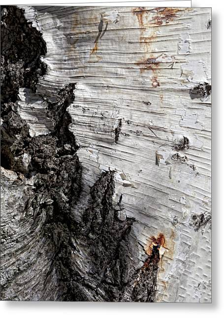 Birch Tree Greeting Cards - Birch Bark Greeting Card by Robert Ullmann