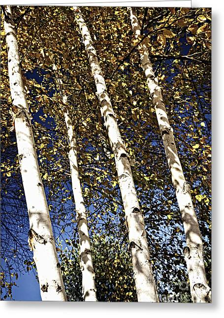 Turning Leaves Photographs Greeting Cards - Birch trees in fall Greeting Card by Elena Elisseeva