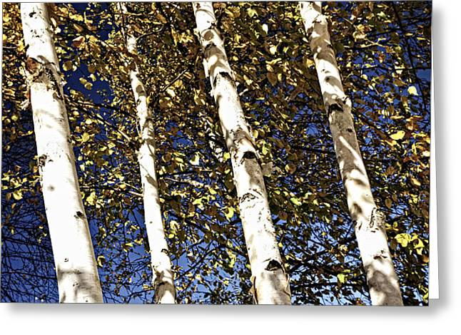 Birch trees in fall Greeting Card by Elena Elisseeva