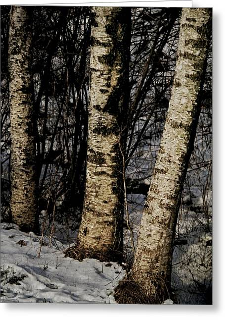 Birch Tree Greeting Cards - Birch Trees In The Snow Greeting Card by Odd Jeppesen