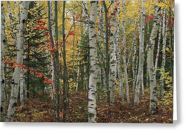 Scenes And Views Photographs Greeting Cards - Birch Trees With Autumn Foliage Greeting Card by Medford Taylor