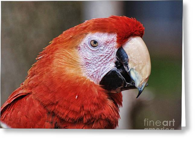 Large Bird Greeting Cards - Bird - Parrot - Red Macaw Greeting Card by Paul Ward