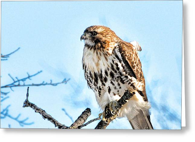 Concern Greeting Cards - Bird - Red Tail Hawk - Endangered Animal Greeting Card by Paul Ward