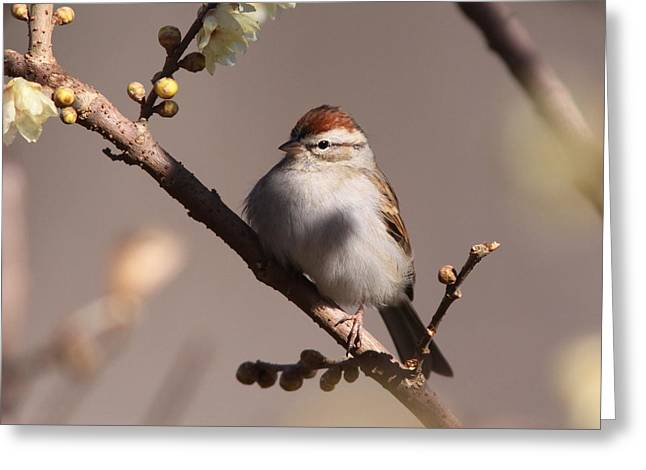 Travis Truelove Photography Greeting Cards - Bird - Sparrow - So Simple Greeting Card by Travis Truelove
