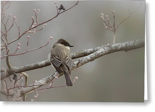 Bird - Eastern Phoebe - Very Contented Greeting Card by Travis Truelove