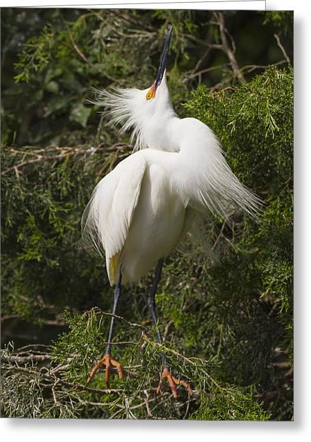 Alligator Farm Greeting Cards - Bird Mating Display - Snowy Egret  Greeting Card by Bill Swindaman