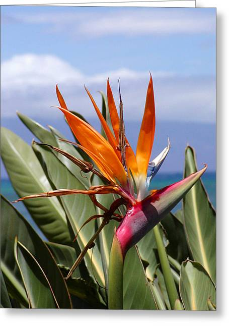 Tropical Birds Of Hawaii Greeting Cards - Bird of Paradise Greeting Card by Dustin K Ryan
