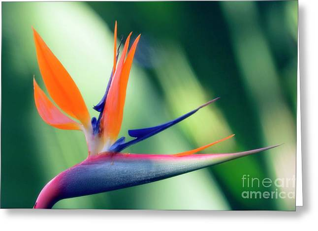 Strelitzia Greeting Cards - Bird Of Paradise Flower Greeting Card by Maria Mosolova