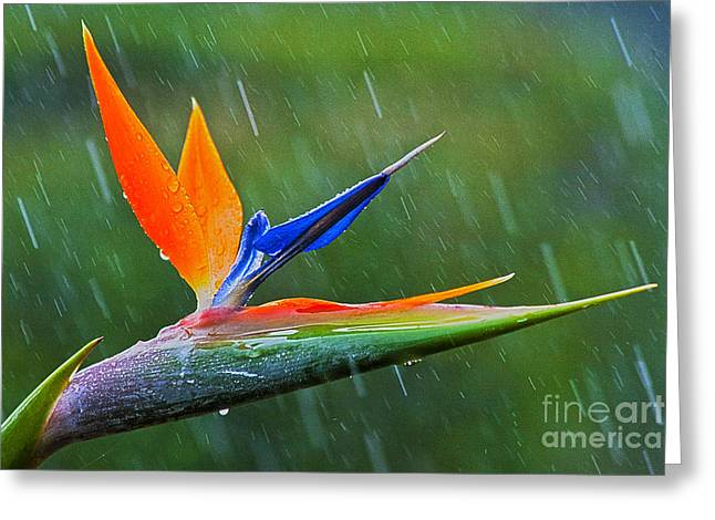 Strelitzia Greeting Cards - Bird-of-Paradise in Rain Greeting Card by Heiko Koehrer-Wagner