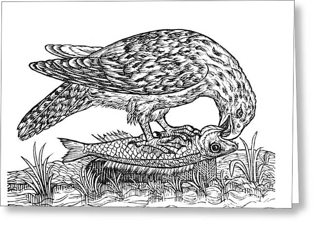 Feeding Birds Greeting Cards - Bird Of Prey, Historical Artwork Greeting Card by Middle Temple Library