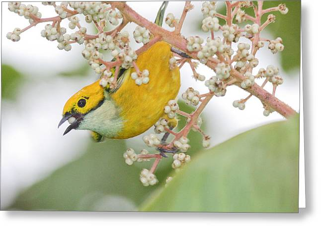 Tom And Pat Cory Greeting Cards - Bird with Berry Greeting Card by Tom and Pat Cory