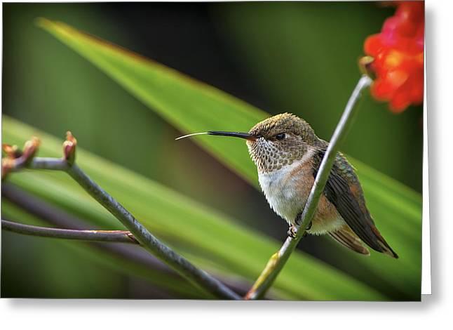 Watcher Greeting Cards - Birds of BC - No. 31 - Rufous Hummingbird - Selasphorus rufus Greeting Card by Paul W Sharpe Aka Wizard of Wonders