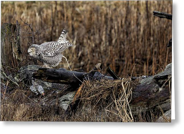 Tree Roots Photographs Greeting Cards - Birds of BC - No.13 - Snowy Owl Doo Doo Greeting Card by Paul W Sharpe Aka Wizard of Wonders