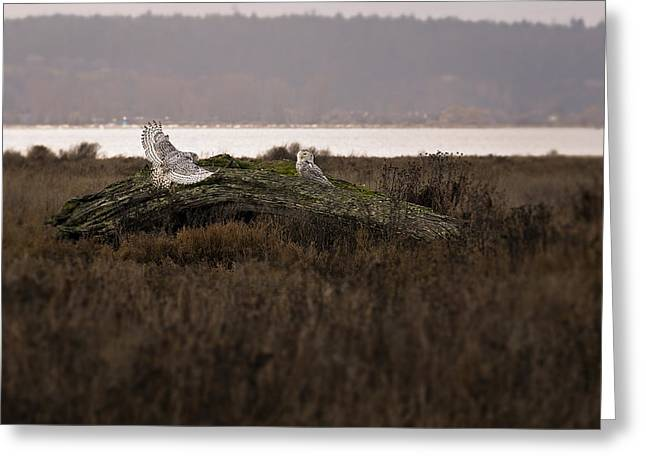 Tree Roots Photographs Greeting Cards - Birds of BC - No.15 - Snowy Owl - Bubo scandiacus Greeting Card by Paul W Sharpe Aka Wizard of Wonders