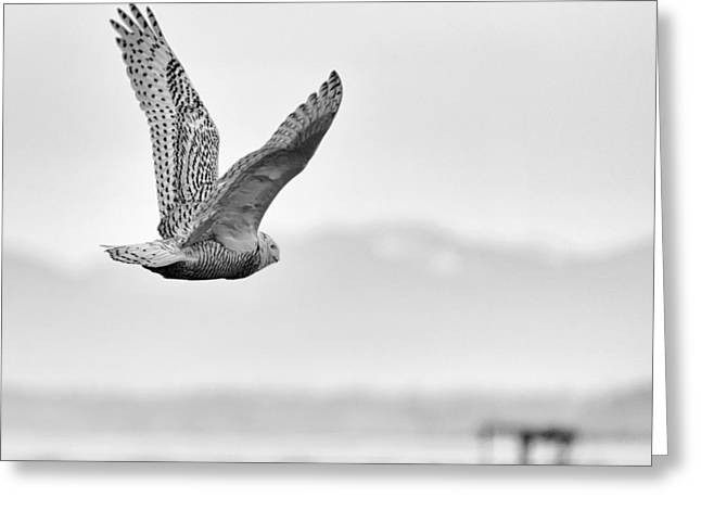 Roots And Wings Greeting Cards - Birds of BC - No.16 - Snowy Owl - Bubo scandiacus Greeting Card by Paul W Sharpe Aka Wizard of Wonders