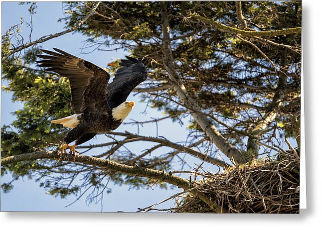 Yellow Beak Greeting Cards - Birds of BC - No.27 - Bald Eagle - Haliaeetus leucocephalus Greeting Card by Paul W Sharpe Aka Wizard of Wonders