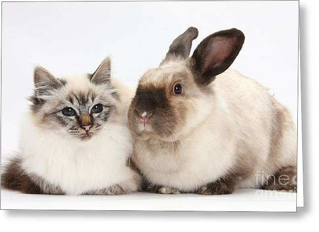Colourpoint Greeting Cards - Birman Cat And Colorpoint Rabbit Greeting Card by Mark Taylor