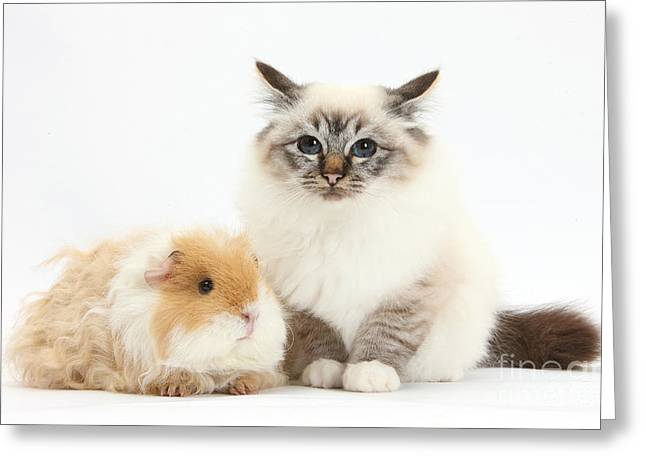 Cavy Greeting Cards - Birman Cat And Frizzy Guinea Pig Greeting Card by Mark Taylor