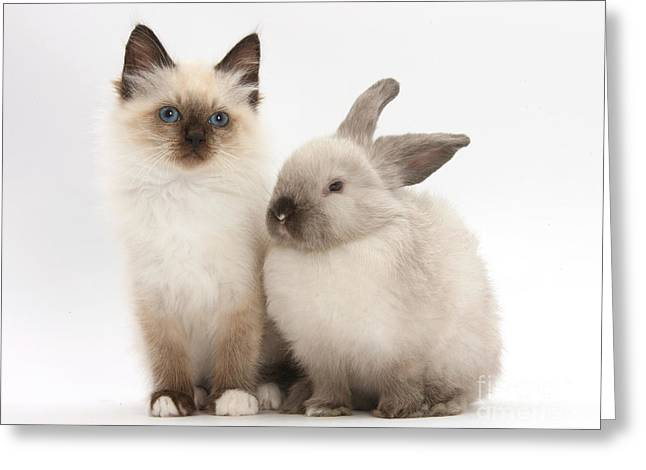 Domestic Pet Portraits.house Cat Greeting Cards - Birman-cross Kitten And Young Greeting Card by Mark Taylor