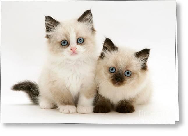 Cats Birman Greeting Cards - Birman-cross Kitten Greeting Card by Jane Burton