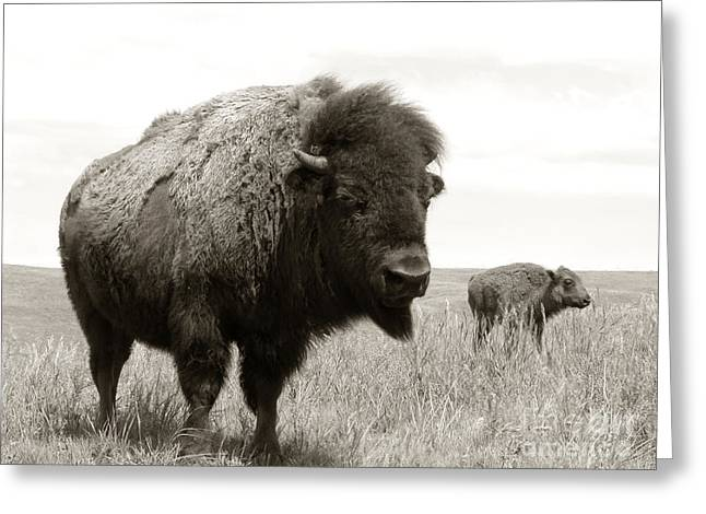 American Bison Greeting Cards - Bison and Calf Greeting Card by Olivier Le Queinec