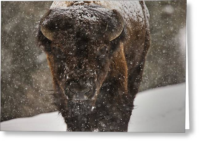 Grazing Snow Greeting Cards - Bison Buffalo Wyoming Yellowstone Greeting Card by Mark Duffy