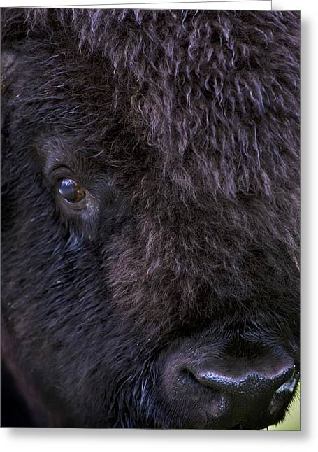 Close Up Buffalo Greeting Cards - Bison, Close Up Greeting Card by Richard Wear