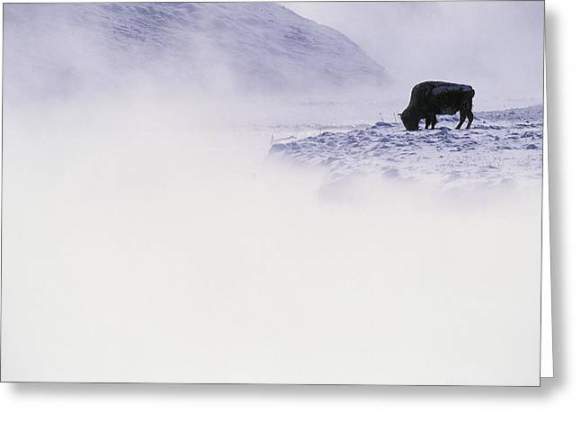 Light And Dark Greeting Cards - Bison Grazing In Winter Greeting Card by Bobby Model