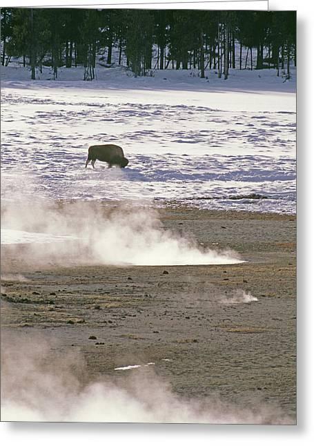Bison Grazing Near Hot Springs Greeting Card by Gordon Wiltsie