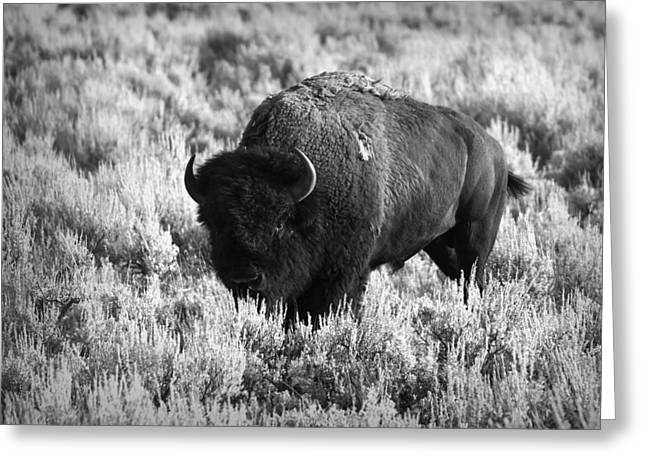 Bison In Black And White Greeting Card by Sebastian Musial