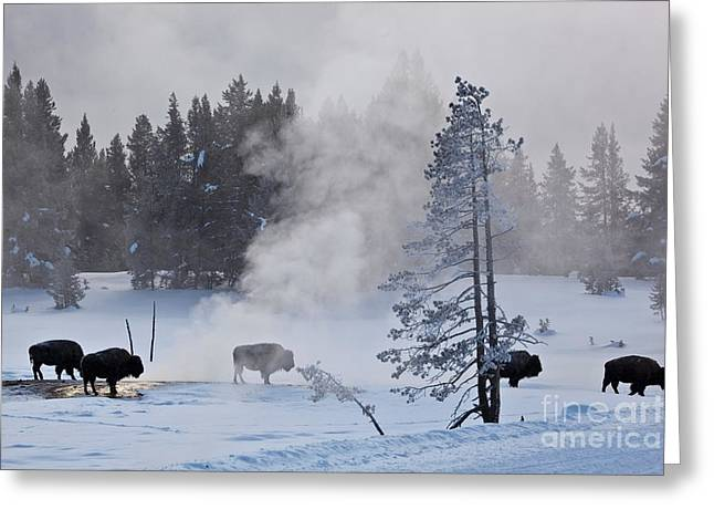 Grazing Snow Greeting Cards - Bison In Yellowstone Np Greeting Card by Greg Dimijian