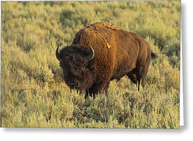 American Bison Greeting Cards - Bison Greeting Card by Sebastian Musial