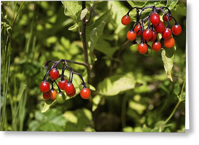 Bittersweet Greeting Cards - Bittersweet Berries (solanum Dulcamara) Greeting Card by Dr Keith Wheeler