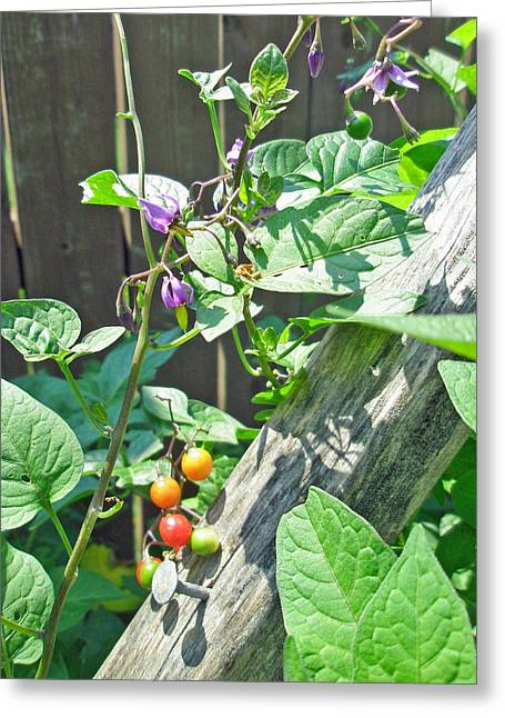 Bittersweet Greeting Cards - Bittersweet Nightshade - Solanum dulcamara Greeting Card by Mother Nature