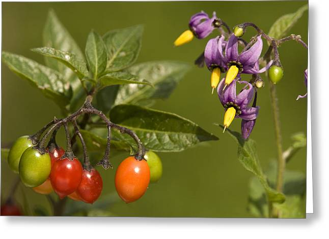 Bittersweet Greeting Cards - Bittersweet (solanum Dulcamara) Greeting Card by Bob Gibbons
